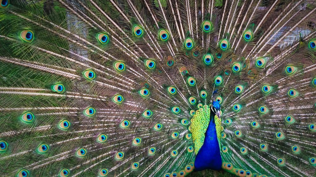 peacock showing beautiful feathers